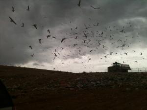 dump gulls
